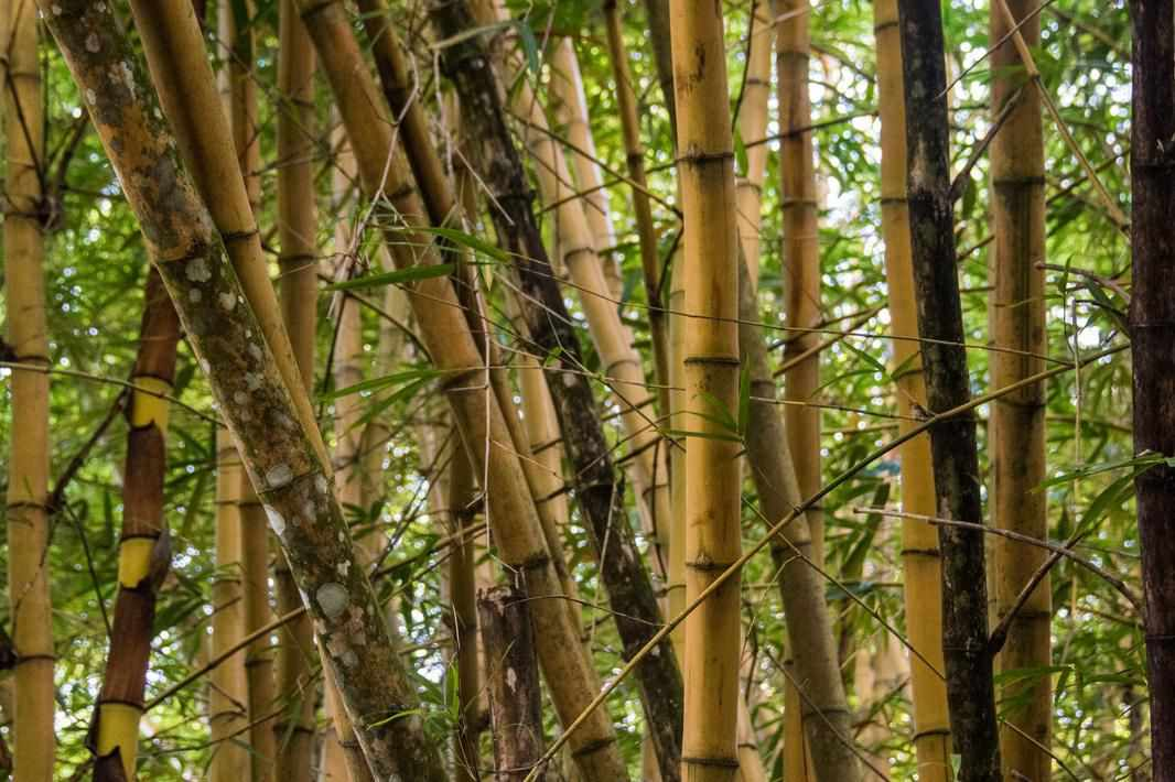 bamboo jamaica economy sustainable pulp