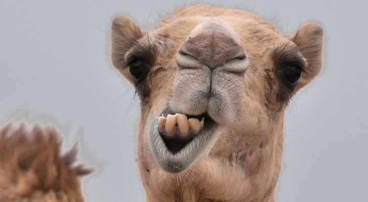 camels covid immune scientist injects