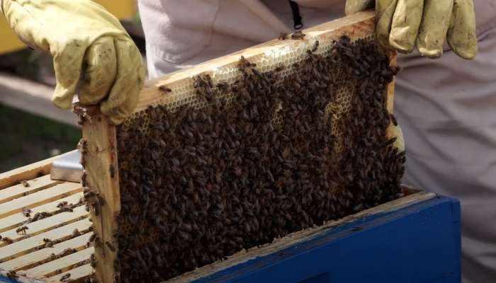 candidates honey bee