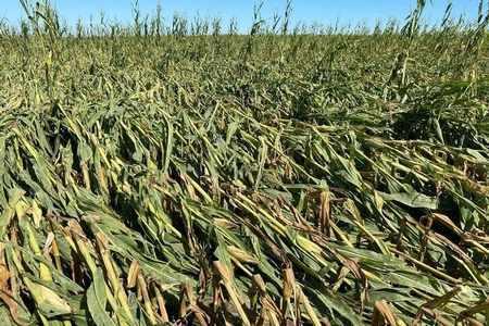 corn agritel crop