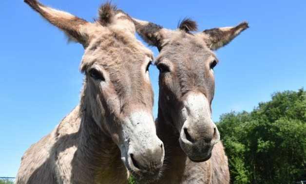 egypt, donkeys, danger, extinction, head,