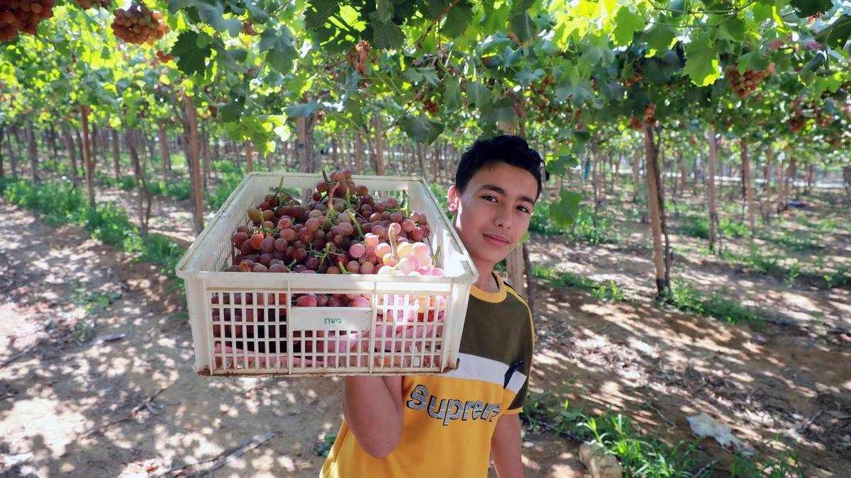 egypt grape harvesting grapes table