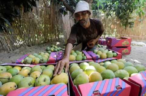 egypt mango heat wave crop