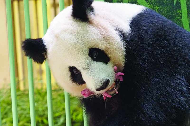 france, panda, birth, twins, huan,
