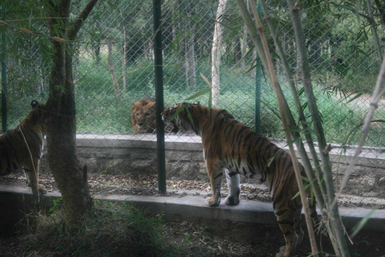 india covid tiger reserves outbreaks
