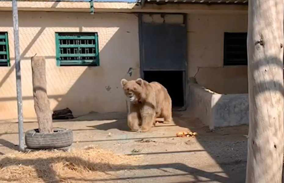 jordan bears endangered himalayan brown