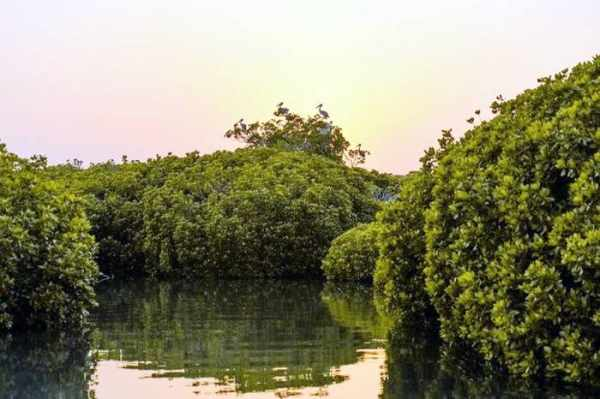 mangrove kingdom coasts trees biodiversity
