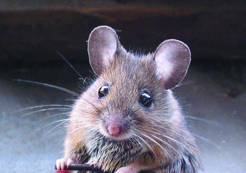 mice, lifespan, eating, calories, fasting,