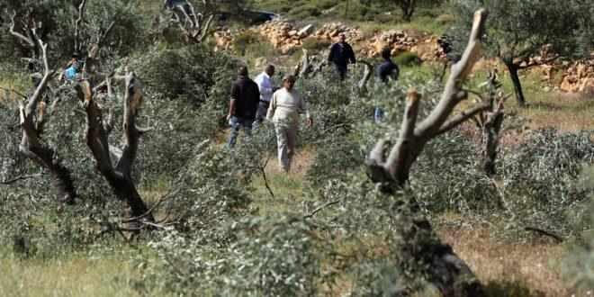 nablus, northern, olive, trees, settlers,