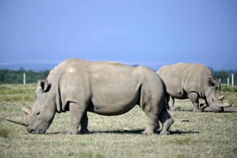 northern, embryos, rhino, scientists, create,