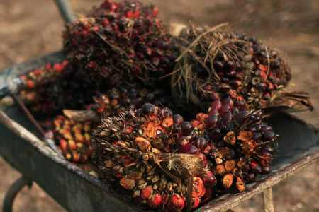 oil palm buyers malaysian producers