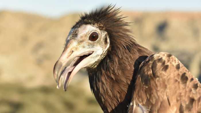 oman vultures eso grant conservation