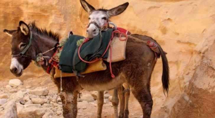 petra donkeys coronavirus cripples