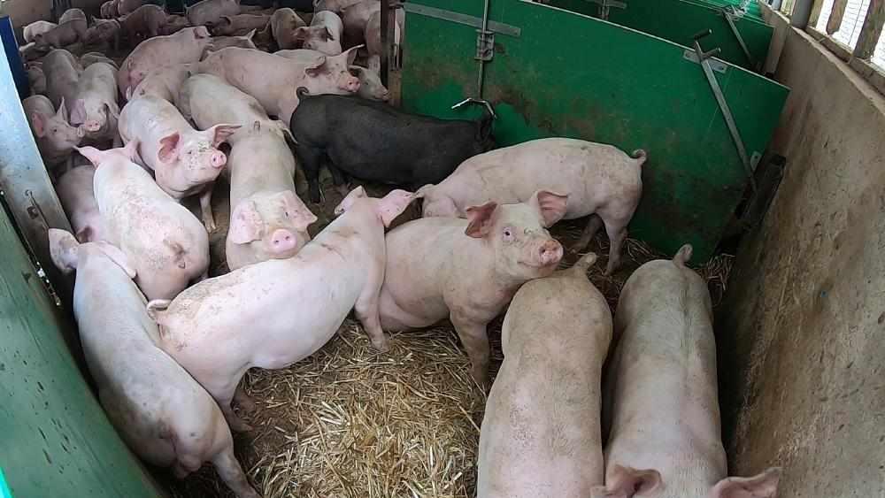 pigs, backlog, farms, butchers, them,