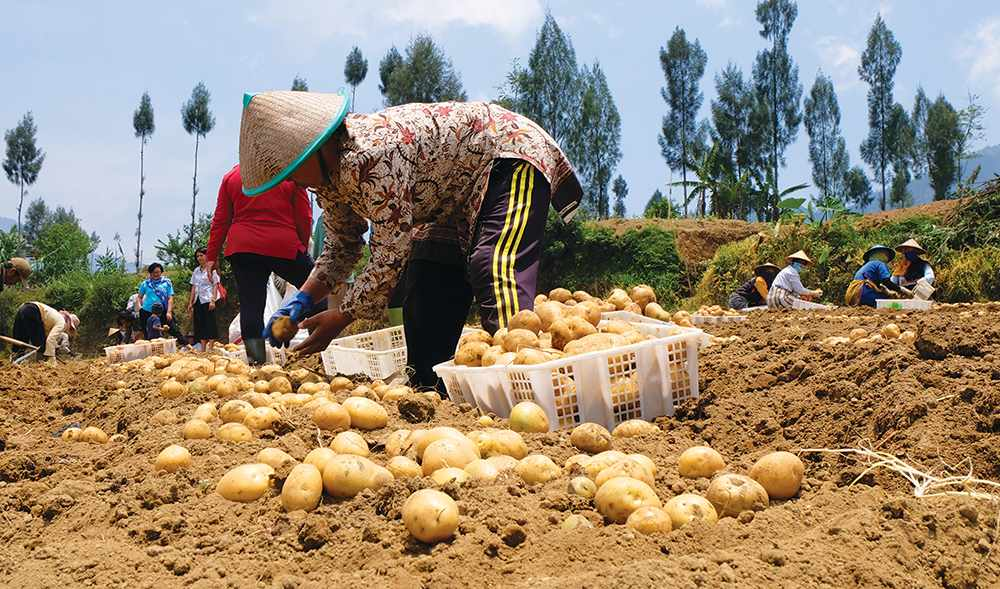 roots indonesians pandemic farming pandemicindonesians
